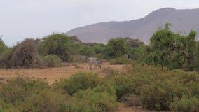 Manada de la cebra del ` s de Grevy que pasta cerca de los arbustos del verde y de los árboles de la reserva de Samburu almacen de metraje de vídeo