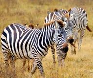 Manada de la cebra en un parque nacional en África fotografía de archivo libre de regalías