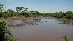 Manada de la colonia de grajos del panorama de hipopótamos salvajes en el río de Mara del africano con agua marrón almacen de video