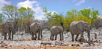 Manada de la familia de los elefantes que caminan a través del arbusto en el parque nacional de Etosha con el cielo azul agradabl Imagen de archivo libre de regalías