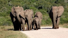 Manada de la familia del elefante africano almacen de video