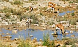 Manada de la gacela (marsupiales del Antidorcas) en Etosha Imagen de archivo libre de regalías