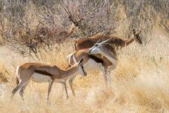 Manada de la gacela que pasta en un arbusto africano en el parque nacional de Etosha Fotos de archivo