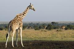 Manada de la jirafa Fotografía de archivo libre de regalías