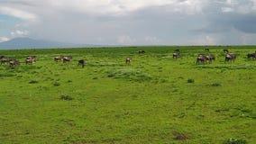 Manada de la migración de los ñus en Ndutu almacen de video