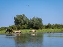 Manada de la reclinación de las vacas Fotos de archivo libres de regalías