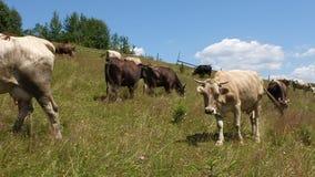 Manada de la vaca almacen de video