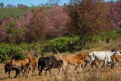 Manada de la vaca Imagen de archivo libre de regalías