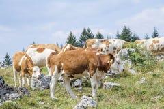 Manada de la vaca con el becerro que pasta Imagen de archivo libre de regalías
