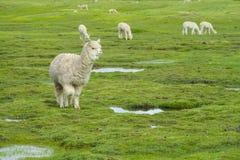 Manada de las alpacas en campo verde Imágenes de archivo libres de regalías