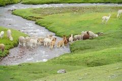 Manada de las alpacas en el río verde de la travesía del campo Foto de archivo libre de regalías