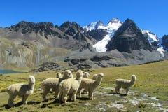Manada de las alpacas en las montañas snowcaped Imagen de archivo libre de regalías
