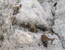 Manada de las cabras de montaña - cabra montés alpestre foto de archivo