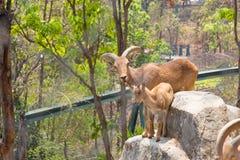 Manada de las cabras de montaña, cabras en el hábitat de la naturaleza Fotos de archivo libres de regalías