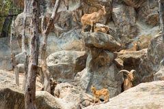 Manada de las cabras de montaña, cabras en el hábitat de la naturaleza Imágenes de archivo libres de regalías