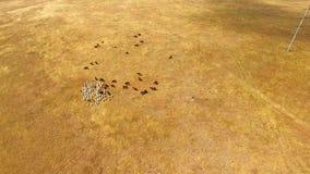 Manada de las cabras y de las vacas que pastan en el rastrojo de oro metrajes