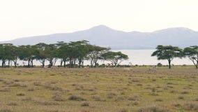 Manada de las cebras africanas Graze On un prado verde cerca de los árboles y del lago del acacia metrajes