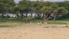 Manada de las cebras africanas que pastan en un prado verde entre los árboles del acacia metrajes