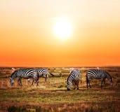 Manada de las cebras en sabana africana en la puesta del sol. Imagen de archivo