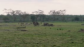 Manada de las cebras Graze On de los monos de los antílopes de los elefantes africanos un prado verde metrajes
