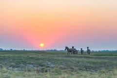 Manada de las cebras que caminan en el arbusto en contraluz en la puesta del sol Luz del sol colorida escénica en el horizonte Sa Imagen de archivo