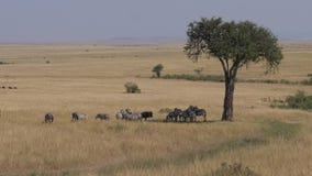 Manada de las cebras que ocultan en las sombras del árbol del acacia en la sabana africana almacen de video
