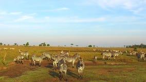 Manada de las cebras que pastan en sabana en África almacen de video