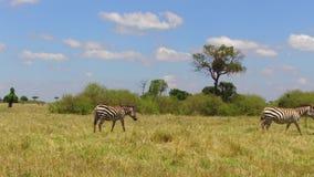 Manada de las cebras que pastan en sabana en África almacen de metraje de vídeo