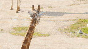 Manada de las jirafas en el parque metrajes