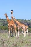 Manada de las jirafas en sabana Imagen de archivo