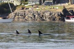 Manada de las orcas en Canadá Fotografía de archivo