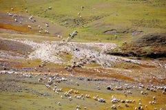 Manada de las ovejas Fotos de archivo libres de regalías