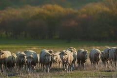 Manada de las ovejas Foto de archivo libre de regalías