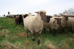 Manada de las ovejas fotografía de archivo libre de regalías
