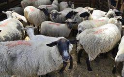 Manada de las ovejas de la granja Foto de archivo