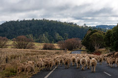 Manada de las ovejas en el camino Foto de archivo libre de regalías