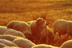 Manada de las ovejas en luz anaranjada de la puesta del sol Fotos de archivo