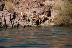Manada de las ovejas largas del claxon del desierto Imagen de archivo