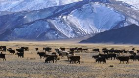 Manada de las ovejas mongoles que pastan en el pasto almacen de video