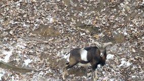 Manada de las ovejas de montaña con los cuernos grandes en el fondo de la naturaleza, invierno, nacional, 4K, nieve almacen de metraje de vídeo