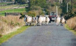 Manada de las ovejas que caminan en el camino Foto de archivo