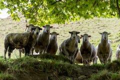 Manada de las ovejas que miran abajo Imagenes de archivo