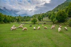 Manada de las ovejas que pastan en las montañas fotografía de archivo