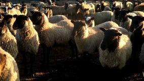 Manada de las ovejas que se colocan en pasto en la ganadería Ovejas y espolón de la multitud en la granja almacen de video