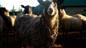 Manada de las ovejas que se colocan y que miran in camera en pasto la ganadería metrajes