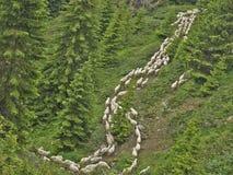 Manada de las ovejas que se mueven en el bosque Fotografía de archivo libre de regalías