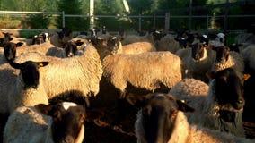 Manada de las ovejas y del espolón que se colocan en prado en la ganadería Ganado de la cría almacen de metraje de vídeo
