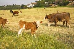 Manada de las vacas Fotos de archivo