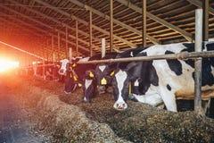 Manada de las vacas blancos y negros que comen el heno en establo moderno Fotografía de archivo libre de regalías