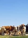 Manada de las vacas de los ganados vacunos con el espacio de la copia del cielo azul Fotos de archivo libres de regalías